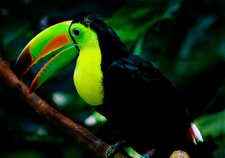 Keel Billed Toucan Woodland In Park