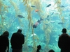 70,000-gallon Kelp Tank - Birch Aquarium