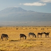 Kilimanjaro With Zebras