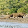 Komodo Dragon Walking On Beach