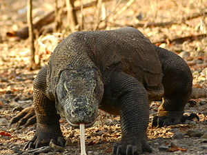 Komodo Adventure 4 Days