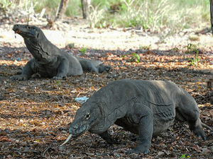 Komodo Dragon - Seven Wonder Of the World Photos