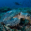 Komodo Hawksbill Turtle