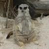A Meerkat At Zootopia