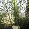 Sugar Cane Kew Gardens