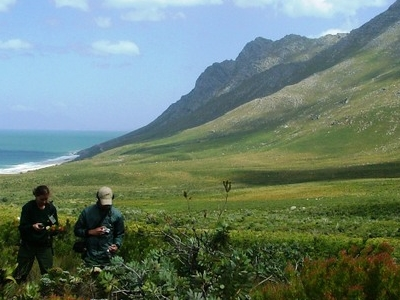 Fynbos In The Kogelberg Mountain