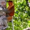 Labuk Bay Proboscis Monkey Sanctuary - Malaysia