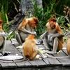 Labuk Bay Proboscis Monkey Sanctuary - Sabah