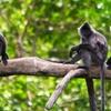 Labuk Bay Proboscis Monkey Sanctuary - Sandakan