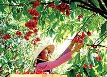 Lai Thieu Orchard - Cau Ngang Tourist Area