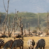 Zebras In Lake Manyara National Park