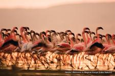 Lake Nakuru Flamingoes