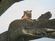Leopard At Serengeti National Park