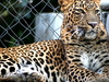Leopard Kanpur Zoo