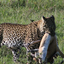 Leopard With Gazelle Kill