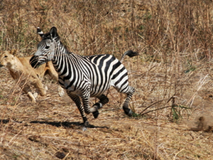 Luxury Safari - Tanzania (5N/ 6 D ) Photos