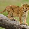 Lion Cub @ Serengeti In Tanzania