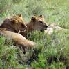 Lions At Serengeti National Park