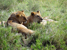 Lions At Serengeti National Park