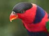Lorikeet At Jurong Birdpark, Singapore