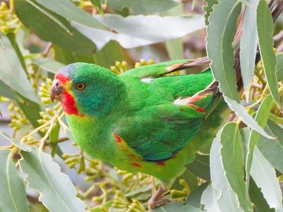 Swift Parrots