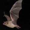 Left Bats In Cave Formations. Right Southern Long Nosed Bat Lept
