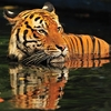 Malaysian Tiger At Kuala Lumpur Zoo
