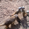 Meerkats At  Belfast  Zoo