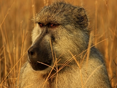 Monkey From Tsavo East