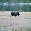 Moose At Big Sandy Lake
