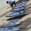 Morning Catch Of Marlin At Jimbaran