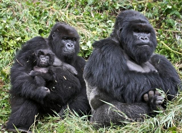 Gorillas and Big 5 Safari Photos