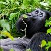 Mountain Gorilla @ Bwindi - Uganda