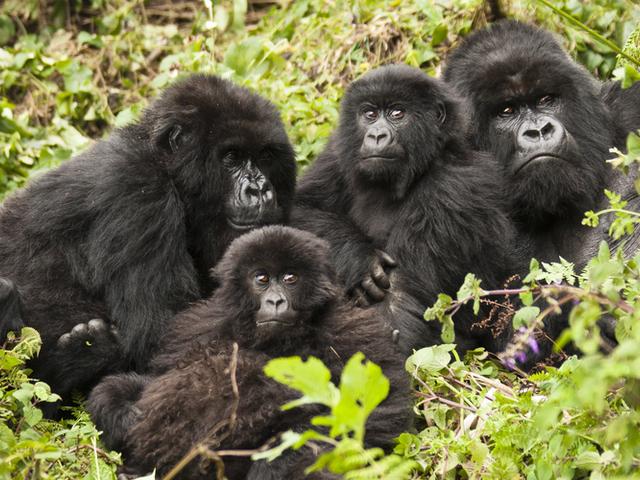 Game Drives, Gorilla Trekking and Lake Kivu Photos