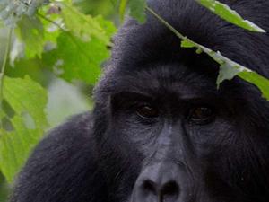 Best of Rwanda Gorilla Trekking Tours Photos
