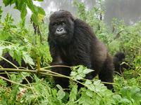 Gorilla Trekking Safari in Bwindi National Park Uganda