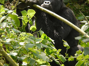 Savanna Wildlife and Mountain Gorillas Tour