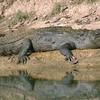 Basking Mugger Crocodile