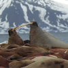 Walrus Colony On Prins Karl Forland