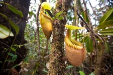 Nepenthes Villosa At Kinabalu