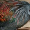 Nicobar Pigeon - Toronto Zoo