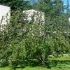 Newtons Apple Tree