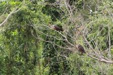 Opisthocomus Hoazin Manu National Park