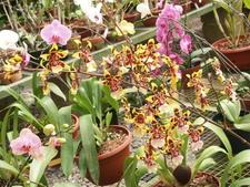Rows Of Orchids Lankester Botanical Garden