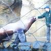 Oregon Zoo Steller Sea Lion