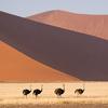 Ostriches - Namib-Naukluft National Park