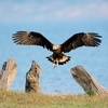 Pallas's Fish Eagle In Corbett National Park UT