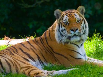 Panthera Tigris  Banham  Zoo