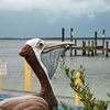 Pelican Sculpture - Buttonwood Sound - Key Largo FL
