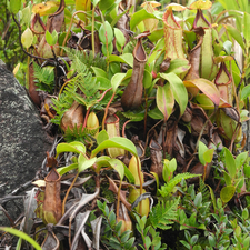 Pitcher Plants On Hibok Hibok